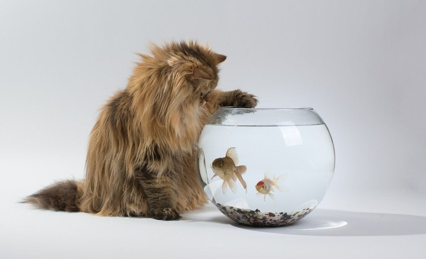 7018956 cat aquarium fish