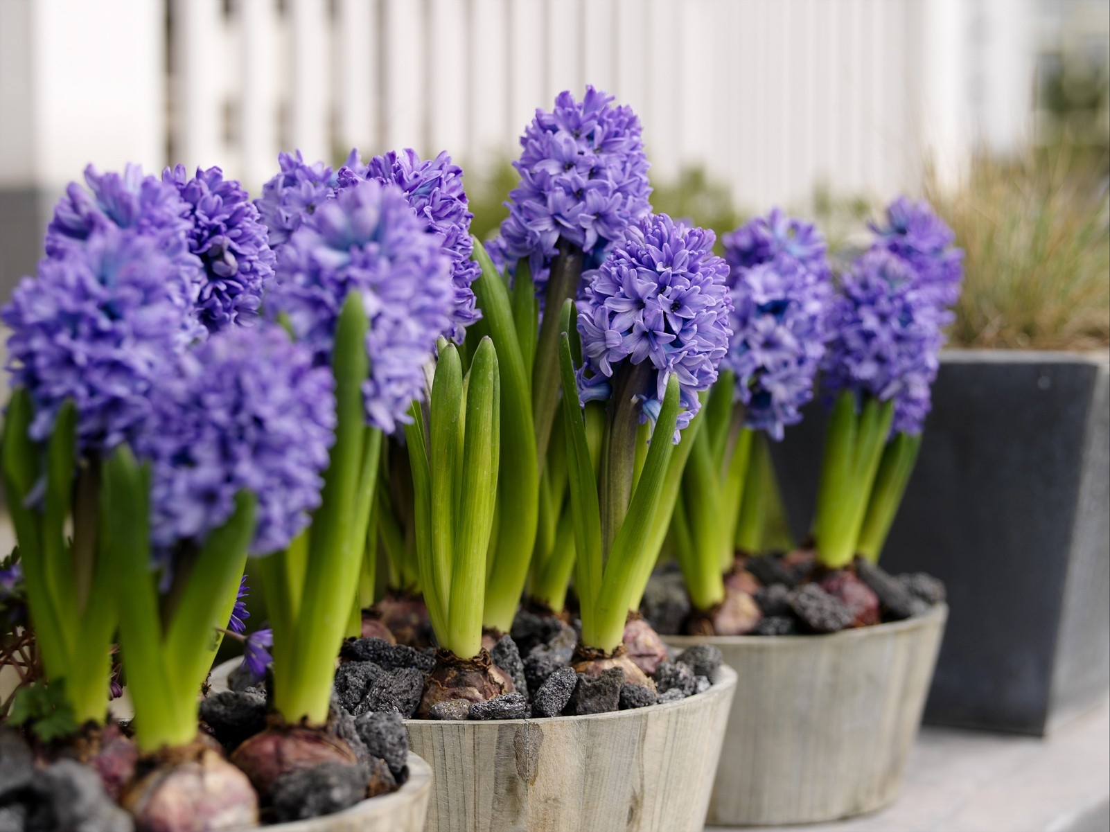 Nature   flowers hyacinth flowers at home 065854