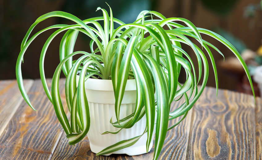 Usual spider plant 2048x1366