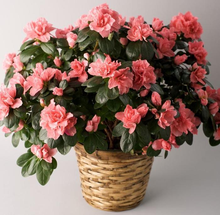 чаепития приёма азалия комнатное растение фото освещение подчеркивает