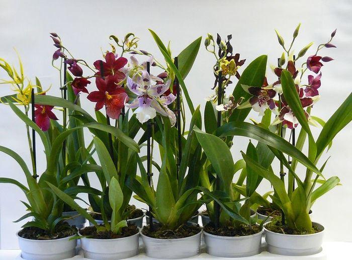 Уход за орхидеями камбрия, буррагеара, беаллара, колманара ...