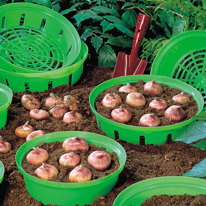Сажать тюльпаны в контейнеры