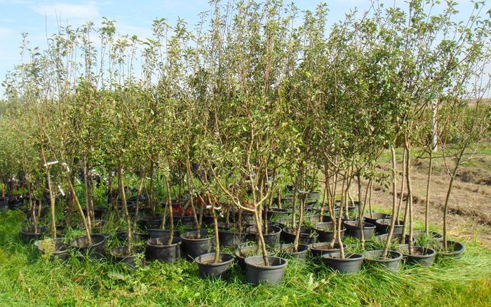 посадка плодовых деревьев весной