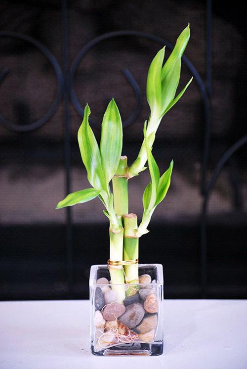 комнатный бамбук уход в домашних условиях