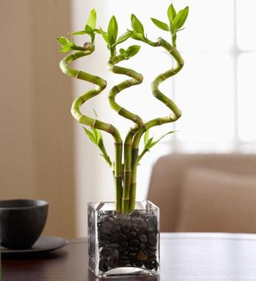 Виды комнатного бамбука