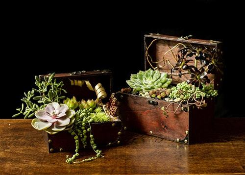 каменная роза цветок уход в домашних условиях фото